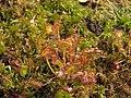 Drosera rotundifolia Rosiczka okrągłolistna 2010-05-29 01.jpg