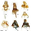 Druenticinae (10.3897-zookeys.815.27335) Figures 58–64.jpg
