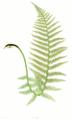 Dryopteris filix-mas Moore14.png