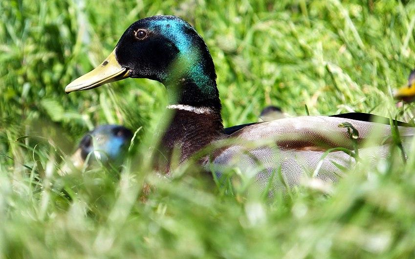 Duck Stalking (7274136322).jpg