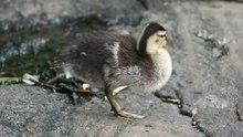 File:Duckling preening (81313).webm