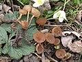 Dumontinia tuberosa.JPG