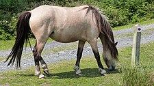 Dun horse (9287718528).jpg