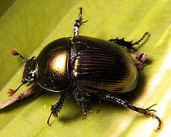 Dung beetle Geotrupes sp.jpg