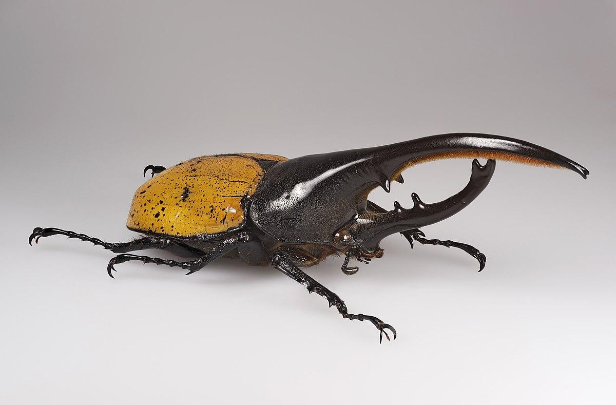 Resultado de imagem para besouro-hercules