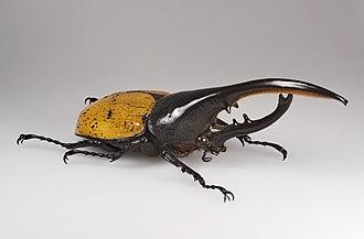Hercules beetle - Male Hercules beetle, Dynastes hercules
