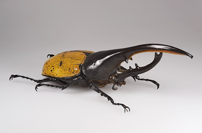 Image result for The Hercules Beetle