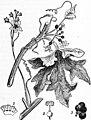 EB1911 Cucurbitaceae - Fig. 1.—Bryonia dioica.jpg