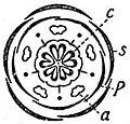 EB1911 Flower - diagram of Linum flower.jpg