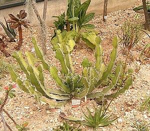 Euphorbieae - ''Euphorbia cactus var. cactus''