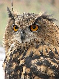 Eagle Owl (Bubo bubo) - geograph.org.uk - 517614