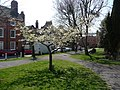Early Spring blossom in Castle Gardens, Ludlow - geograph.org.uk - 1809513.jpg