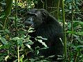 Eastern Chimpanzee (Pan troglodytes schweinfurthii) (7068174535).jpg