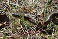 Eastern Garter Snake - Flickr - GregTheBusker.jpg