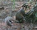 Eastern Gray Squirrel Nbg (259761637).jpeg