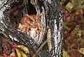 Eastern Screech Owl (31443077955).jpg