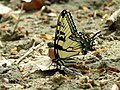 Eastern Tiger Swallowtail (34147575736).jpg