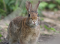 Eastern cottontail (Sylvilagus floridanus) facing front. Medford, Massachusetts, United States 01.png