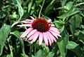 Echinacea Twilight 13zz.jpg