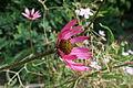 Echinacea pallida var. tennesseensis 2.jpg