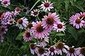 Echinacea purpurea - 1.jpg