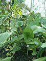 Echinodorus grandiflorus grandiflorus BotGardBln07122011C.JPG