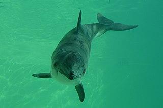 Harbour porpoise species of marine mammal