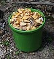 Edible fungi in bucket 2019 G2.jpg