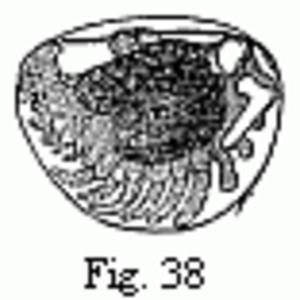 Embryons desséchés - Image: Edriophthalma 38