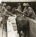 Eerste Wereldoorlog, verzorging paarden (3019093792).jpg