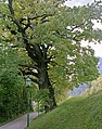 Eiche, Naturdenkmal Nr. 103.jpg