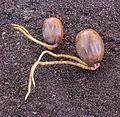 Eikels van een zomereik met wortelkiem (Quercus robur) 02.jpg