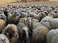 El silencio obligado...... de los corderos (14348884983).jpg