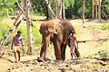 Elephant Raju at Indira Gandhi Zoological Park, Visakhapatnam.jpg
