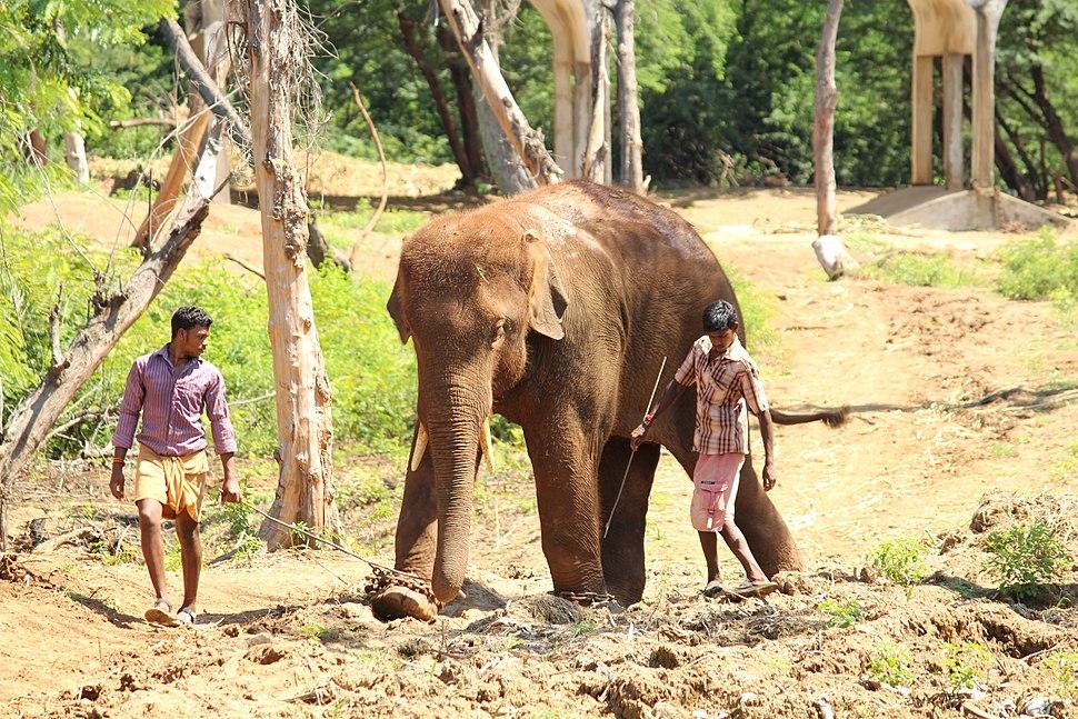 Elephant Raju at Indira Gandhi Zoological Park, Visakhapatnam