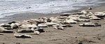 Elephant Seals 5 (15577954062).jpg