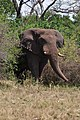Elephant in Akagera National Park.jpg