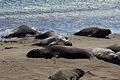 Elephant seals, Piedras Blancas 13.jpg