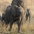 Elephants from Pilanesberg National Park last weekend (38290170741).jpg