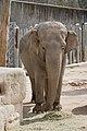 Elephas maximus - 01.jpg