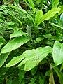 Elettaria cardamomum Maton.jpg