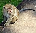 Em - Macaca fascicularis - 1.jpg