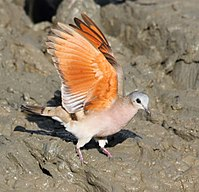 Emerald-Spotted Wood-Dove 2013 10 05 07 38 44 0736.jpg