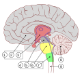 Encephalon human sagittal section multilingual.svg