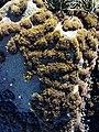 Endocladia muricata Cambria CA.jpg