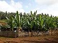 Enset farm in an average zada compund 2.jpg