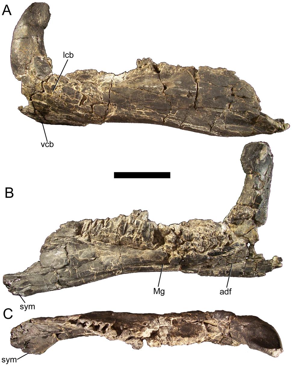 Eolambia dentary