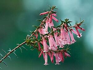Epacris impressa - Image: Epacris impressa Pink Form