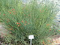 Ephedra chilensis - Palmengarten Frankfurt - DSC01893.JPG