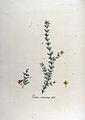 Erica cinerea — Flora Batava — Volume v12.jpg